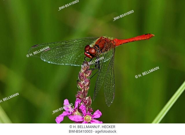 Ruddy sympetrum, Ruddy darter (Sympetrum sanguineum), male on purple loosestrife, Germany