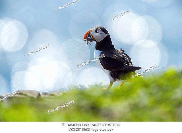 Atlantic Puffin, Fratercula arctica, with Sandeels, Lens Flare, Europe