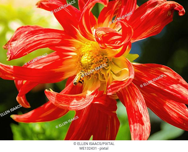 Honey bee pollinating a brilliant red and yellow dahlia with swirling petals