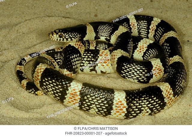 Snake - Long-nosed Rhinocheilus lecontei Arizona