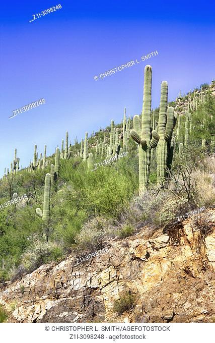 Cacti growing on the lower area of Mount Lemmon in Arizona