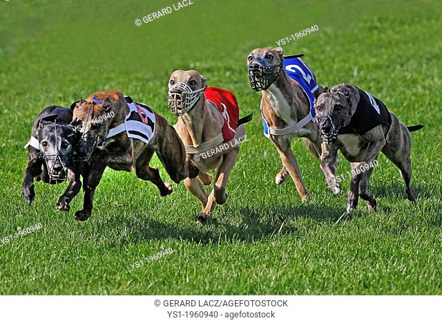 Whippet Dogs running, Racing at Track, France