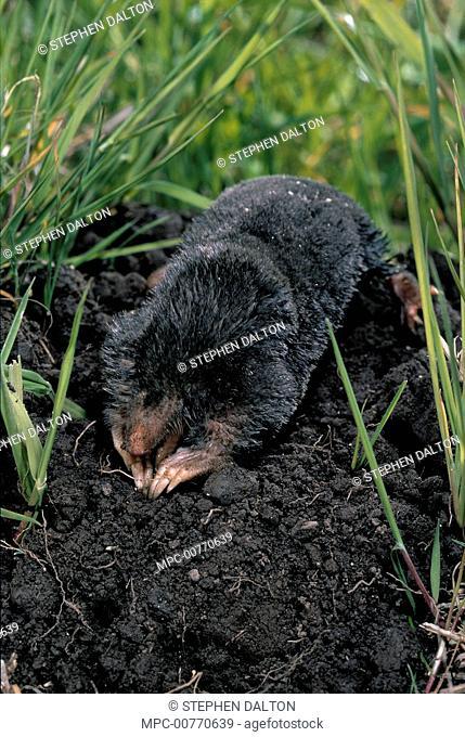 European Mole (Talpa europaea) digging at molehill