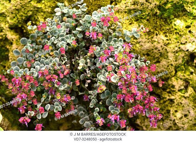 Cretan dittany or hop marjoram (Origanum dictamnus) is an endangered medicinal plant endemic to Crete mountains. Flowering plant