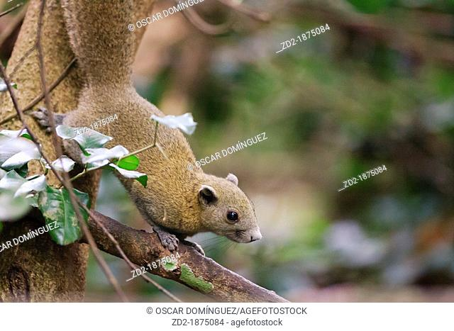 Gray-bellied Squirrel Callosciurus caniceps on branch  Kaeng Krachan National Park  Thailand