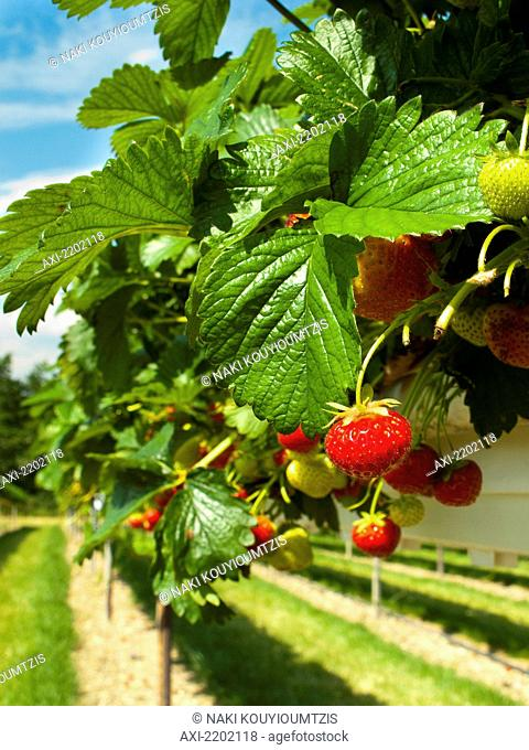 Pick your own strawberries (PYO) at Parkside Farm; Enfield, UK