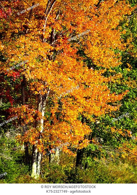 autumn foliage. Pocono Región, Pennsylvania, USA