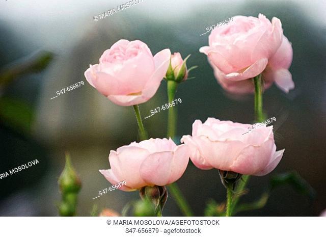 Pink Roses. Rosa hybrid. May 2006, Maryland, USA