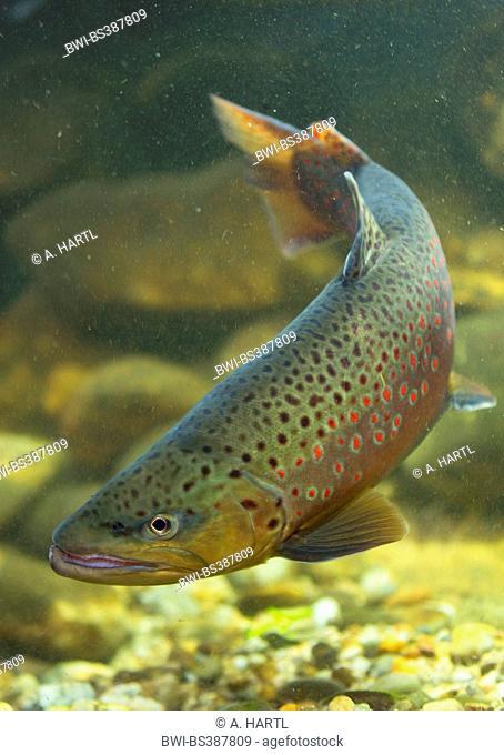 brown trout, river trout, brook trout (Salmo trutta fario), male, Germany