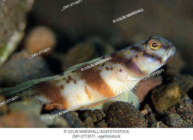 Redbarred Shrimpgoby (Amblyeleotris sp. ) by hole, Segara dive site, Seraya, Bali, Indonesia