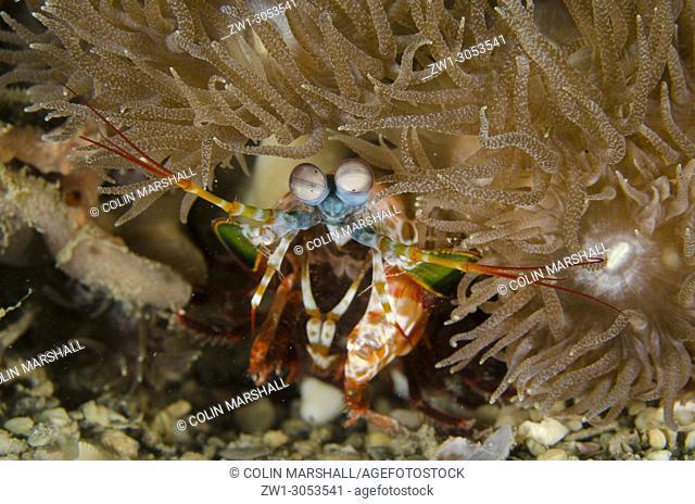 Smashing Mantis Shrimp (Odontodactylus scyllarus) by coral, Tasi Tolu dive site, Dili, East Timor (Timor Leste)
