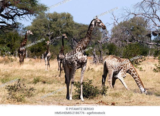 Botswana, Okavango Delta, listed as World Heritage by UNESCO, Khwai Concession, Southern giraffe (Giraffa camelopardalis)