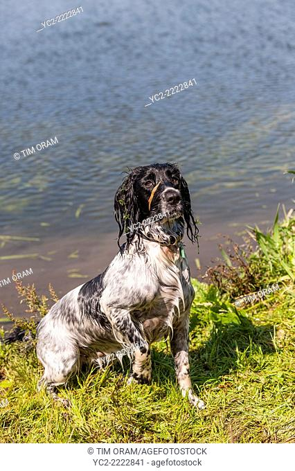 A wet 2 year old working English Springer Spaniel dog in the river water in the Uk
