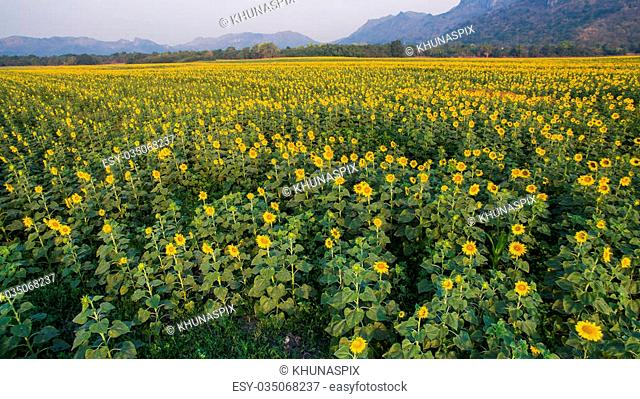 top view of sunflowers plantation in agricultural field in lopburi central of thailand