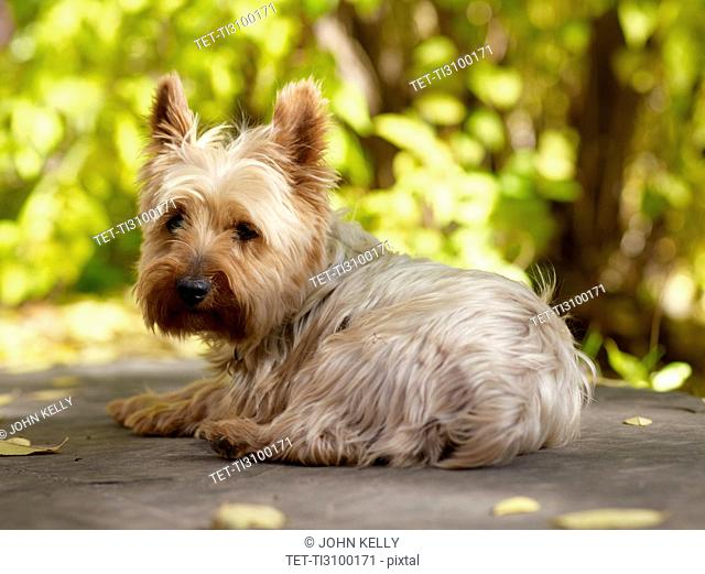 USA, Colorado, Yorkshire terrier lying down and looking at camera