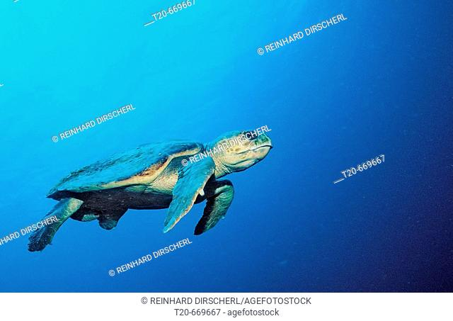 Loggerhead turtle, Caretta caretta, Netherlands Antilles, Bonaire, Caribbean Sea