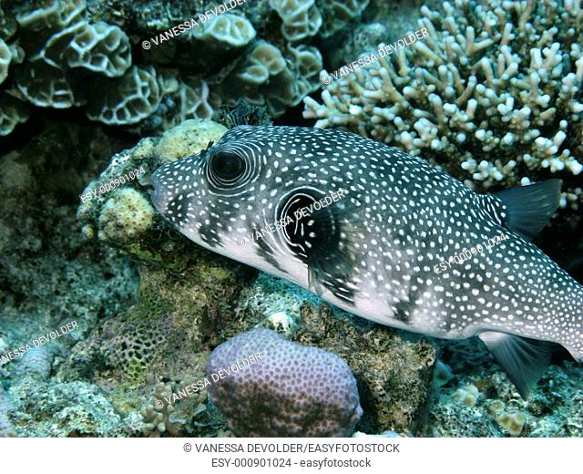 V9EG0919  Pufferfish, a tropical coralfish  Location: Red Sea