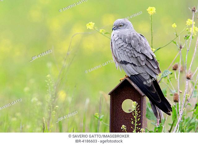 Montagu's Harrier (Circus pygargus), adult male perched on post, campania, Italy
