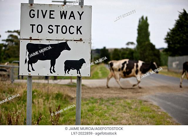 Give way to cows sign on a country road with Holstein dairy cows crossing in the background early morning country Victoria Australia