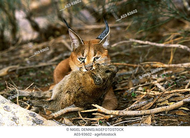Caracal (Felis caracal) killing hyrax by strangulation. Augrabies Falls National Park, South Africa