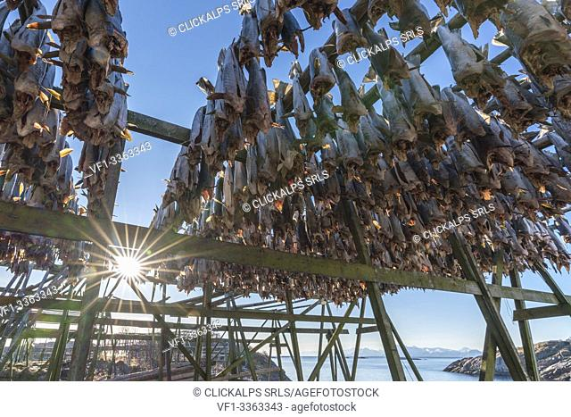 Traditional Norwegian codfish hanging drying in the sun in winter. Henningsvaer, Nordland county, Northern Norway region, Norway