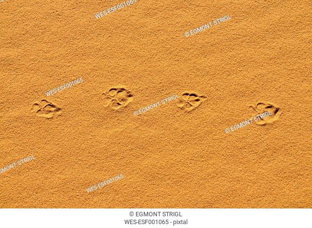 Algeria, Sahara, Tassili n' Ajjer, fresh track of a Golden Jackal, Canis aureus