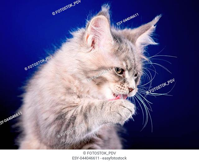 Funny Maine Coon kitten 2 months old licks paw and washes his face. Close-up studio photo of gray little cat on blue background