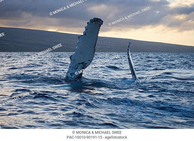 Hawaii, Maui, The pectoral fin of a humpback whale