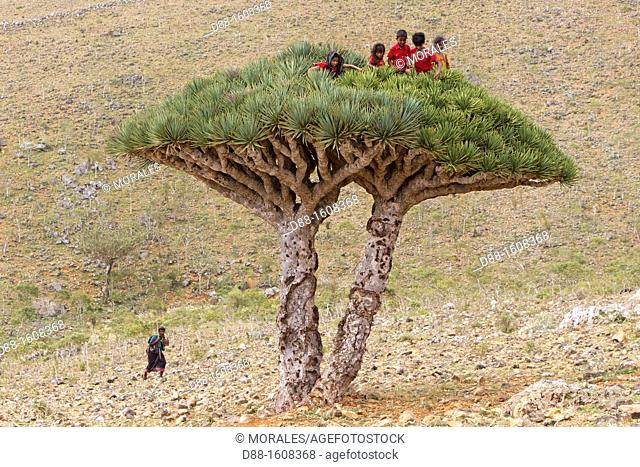 Children on Dragon tree (Dracaena cinnabari), Dixam, Socotra island, listed as World Heritage by UNESCO, Aden Governorate, Yemen