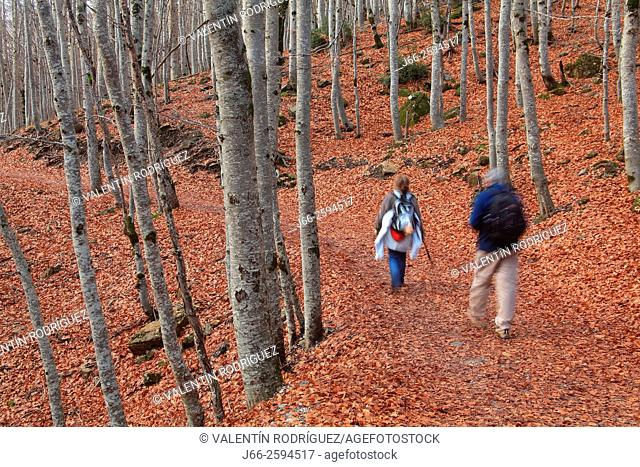 Hikers in the beech forest, valley of Ordesa. Ordesa National Park. Huesca