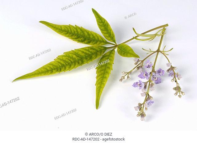 Five-leaved Chaste Tree Vitex negundo heterophylla Cut-Leaf Vitex