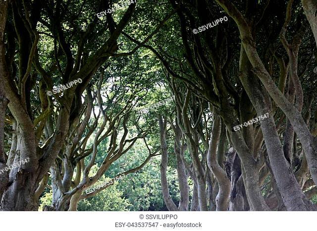 The Dark Hedges near Ballymoney, Antrim in Northern Ireland