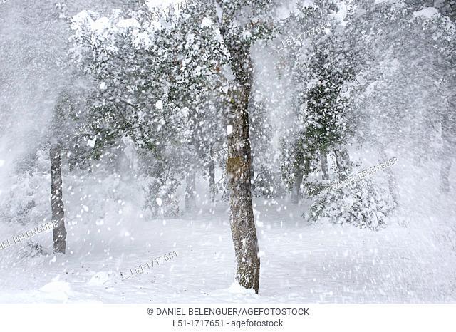Holm oak quercus ilex after a snowfall, Font Roja Nature Reserve, Alcoy, Alicante