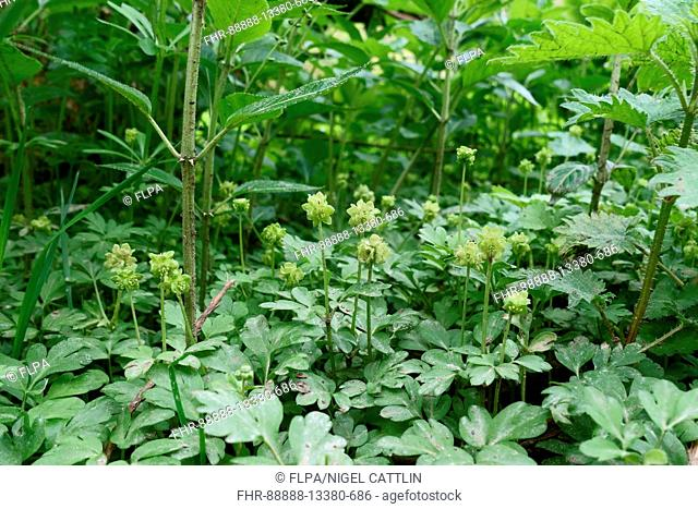 Moschatel, Adoxa moschatellina, flowering plants on the woodland floor in springtime, Berks, April